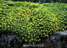 Monrovia's Stonecrop details and information. Learn more about Monrovia plants and best practices for best possible plant performance.