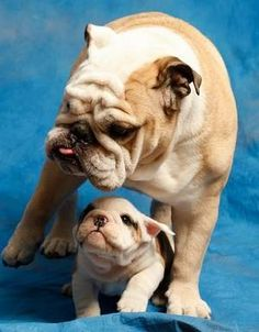 Butler University Blue II with his prodigy Blue III aka Trip!  <3  So adorable!  I am a Butler fan just because of the super adorable mascot!