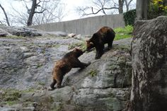bears at the Bronx Zoo