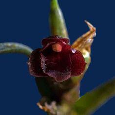 Christensonella subulifolia