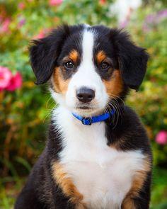 Daily Dose - March 5, 2016 - Pup in the Rose Garden - English Shepherd Puppy 2016©Barbara O'Brien Photography