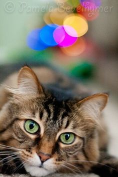 Curious Cat by Pamela Bevelhymer by C@rol