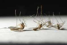 """In Spanish, mosquito translates to """"little gnat,"""" but its impact on history has been far from miniscule. In just the most recent example, mosquitoes are spreading the Zika virus throughout South. Outside Plants, Scary Facts, Zika Virus, Family Picnic, Home Health, Good To Know, Home Remedies, Mosquitoes, Insects"""