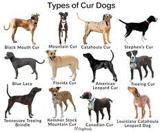 black mouth cur dog Salsa part 'Treeing Cur'? Black Mouth Cur Puppies, Cute Dogs And Puppies, Baby Puppies, Mountain Cur Dog, Catahoula Cur, Dog Breed Info, Dog Breeds List, Leopard Dog, Foster Dog