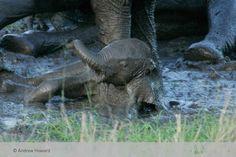 Rolling in the mud having some fun in the sun | Chitwa Chitwa Wildlife