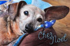 Cher Noel is available for adoption at www.ddrtx.org