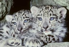 Snow leopard (Uncia uncia) Mountains of N Asia, 8 week old captive bred cubs Snow Leopard Tattoo, Baby Snow Leopard, Leopard Cub, Beautiful Cats, Animals Beautiful, Snow Leopard Endangered, Big Cats, Cats And Kittens, Wild Dogs