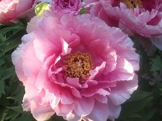 Did you know?  There are around 35 species of the beautiful Peony!  #provence #peony #gardening