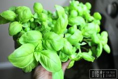 Planting Guide - Starting Basil from Seed