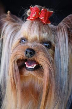 out additional relevant information on Yorkshire Terriers., Figure out additional relevant information on Yorkshire Terriers.,Figure out additional relevant information on Yorkshire Terriers. Yorkies, Yorkie Puppy, Chihuahua, Teacup Yorkie, Teacup Puppies, Yorkshire Terrier Haircut, Yorkshire Terrier Puppies, Yorshire Terrier, Silky Terrier