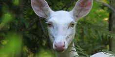 If you keep a close eye out, you may spot one of the Boulder Junction area's albino deer. Animal Memes, Funny Animals, Cute Animals, Albino Deer, Melanistic Animals, Melanism, Deer Photos, Pet Fox, Black Animals