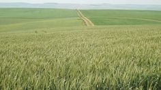 Overberg Wheat fields | Flickr - Photo Sharing!