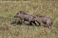 Oops! #Cute piglets, #Gorongosa.