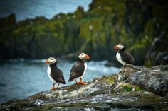 'Puffins' - Dennis Baltzis | Isle of May