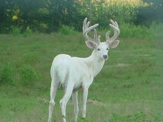 albino deer pictures | Whitetail Bucks