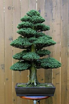 A powerful bonsai tree. How cool would that be on your patio? See more bonsai… Small Trees, Bonsai Trees For Sale, Zen Garden, Ikebana, Flowers, Bonsai Tree, Japanese Garden, Plants, Planting Flowers