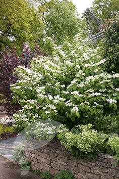 Buy Japanese snowball bush Viburnum plicatum 'Mariesii': Delivery by Crocus.co.uk