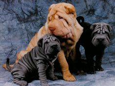 Sharpei's are the best dogs in the whole wide world...just look at how cute they are!