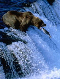 eeaf182de8 Brown Bear (Grizzly) Fishing at Waterfall