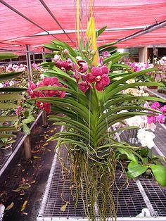 Vanda Prchids | Vanda Orchids