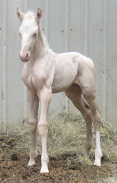 Cremello foal. Pink skin, white mane and tail.