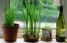 Can you grow garlic indoors? The answer is yes, you definitely CAN! Growing garlic indoors is so easy that even beginner gardeners can master it! Growing Garlic From Cloves, Growing Ginger, Growing Herbs, Growing Vegetables, Grow Garlic, Garden Web, Herb Garden, Balcony Garden, Green Garden