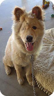 Quail Valley, CA - Golden Retriever/Chow Chow Mix. Meet Wink, a dog for adoption. http://www.adoptapet.com/pet/14325193-quail-valley-california-golden-retriever-mix