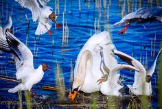 joutsen, swan, laulujoutsen, lintuvalokuva, bird, scandinavian birds, luontokuvaus, eläinkuvaus, animal, eläin, lintu, luontokuvat, nature picture. Bird, Marketing, Animals, Animales, Animaux, Birds, Animal, Animais