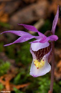 Flower-detail of Calypso Orchid: Calypso bulbosa var. americana