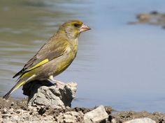 European Greenfinch - Chloris chloris