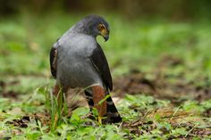 Bicoloured Hawk by Chris Jimenez on 500px
