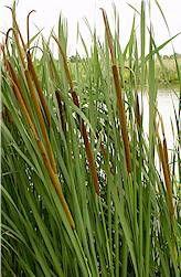 Vijverplanten - bovenste waterlaag - kleine lisdodde