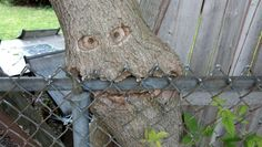 nice Hungry Tree Caught Eating Fence
