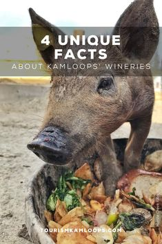 Kamloops is one of the northernmost grape growing areas with four wineries, six vineyards, and 120 acres under vine. Discover these 4 hidden gems and little known facts about them. Cider Making, Unique Facts, Growing Grapes, Unique Recipes, Wineries, Craft Beer, Vines, Gems, Animals