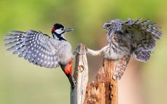 A tiny owl and an angry woodpecker clash over food for their young in dramatic battle of the birds Eagles, Owl Who, Spotted Woodpecker, Animal Attack, Owl Photos, Little Owl, Big Love, Nature Reserve, Cute Baby Animals