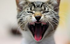 yawning cat macro