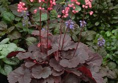 Heuchera - Coral Bells. Part shade to full sun. Introduced 2012. Zones 4-9