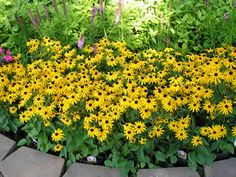goldsturm rudbeckia (aka black eyed susan) - pretty excited for these guys to pop out over our new landscape wall