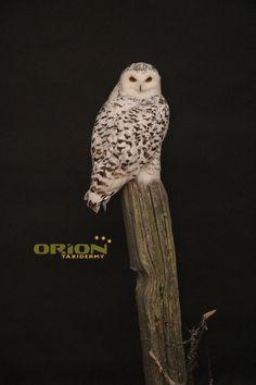 Snowy Owl, Taxidermy, Birds, Animals, Animales, Animaux, Bird, Animal, Animais