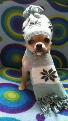 Effective Potty Training Chihuahua Consistency Is Key Ideas. Brilliant Potty Training Chihuahua Consistency Is Key Ideas. Chihuahua Love, Chihuahua Puppies, Cute Puppies, Cute Dogs, Dogs And Puppies, Doggies, Cute Baby Animals, Funny Animals, Little Dogs