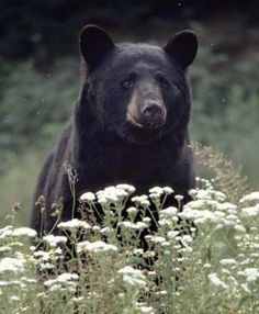 The Black Bear is WV's state animal. Black bears are very intelligent, shy, and secretive animals - actually seeing a bear in the wild is a very rare experience.