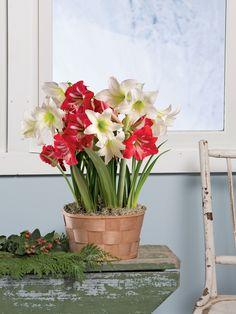 Potted Amaryllis Bulbs, 6 Varieties in Birch Pots | Gardeners.com