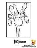 Tennessee Iris Flower