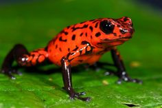 Strawberry poison frogs (Oophaga pumilio) of Costa Rica give their newborn tadpoles a built-in weapon against predators: alkaloids.