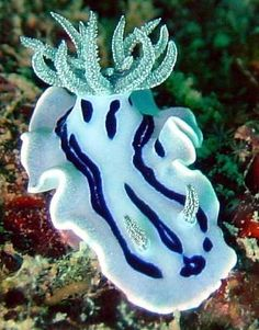 The Sea Slug Forum - Chromodoris willani