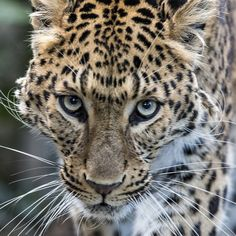Photograph North Chinese Leopard by Colin Langford on 500px