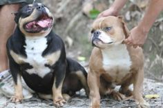 Xteme pocket bully gottyline PAXBLLOD YOUR TOP CHOICE Gottiline puppies tricolor pitbull daxline  Facebookhttps://www.facebook.com/profile.php?id=100006118369229   Youtube https://www.youtube.com/channel/UCWTOIIFQdl7oSCLpZJWaDjA  Contato info@petclube.com.br / amichettibully@gmail.com Google+https://plus.google.com/u/0/+ClaudioAmichettiPetclube whatssapp 11 99386-8744 hc Amichetti / 11 96393-1128 hc Dr. Gabriel  Google https://plus.google.com/u/0/collection/cSD0CB Blog petclube-am...