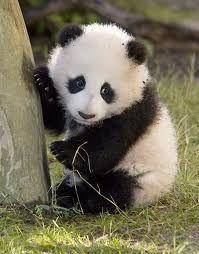 Urso panda é fofinho. Esses ursos, originais da China, estão em extinção. Os poucos que restam vivem nas florestas de bambu.