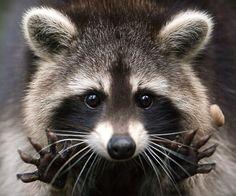 Cutest little raccoon!