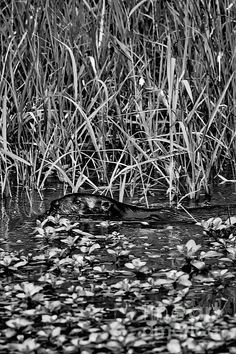 2014 August Looking for a Meal - BW - Rick Grisolano Photography LLC